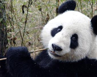 中国旅美大熊猫吃穷动物园