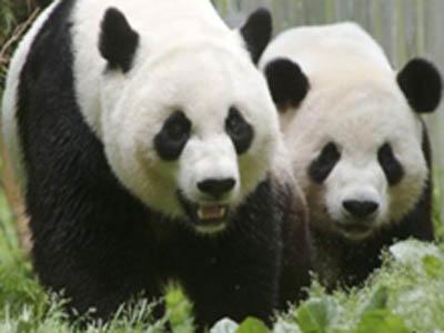美国家动物园熊猫幼崽周日不幸夭折
