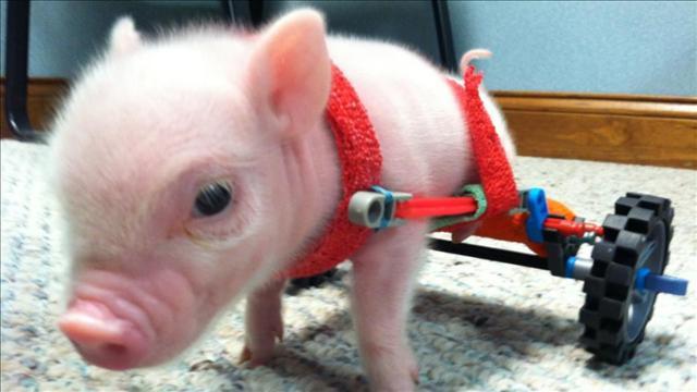 两腿猪用轮椅走路 愉悦生病儿童图片