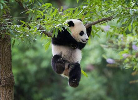宝宝,生日快乐!华盛顿国家动物园为熊猫幼崽庆祝周岁生日