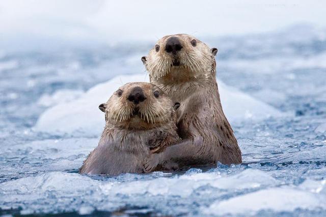 实拍阿拉斯加冰雪仙境 萌萌海獭依偎相拥可爱动人