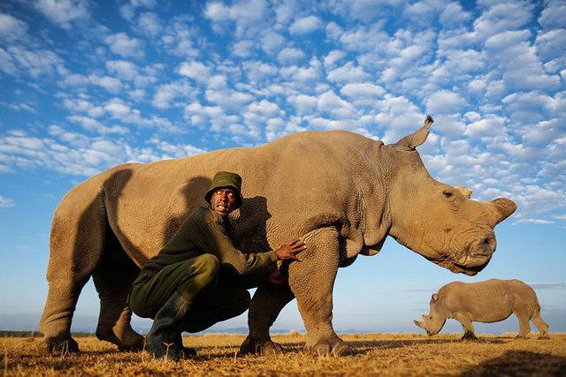 最后一头雄性白犀牛 全球仅剩一只