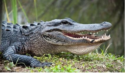 她毫不犹豫的蹚下水抓住鳄鱼的尾巴以转移鳄鱼